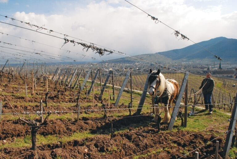 Domaine Zind-Humbrecht plowing horse in vineyard, green, sustainable winemaking, Alsace